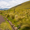 Grasses in the Antisana Reserve in Ecuador.