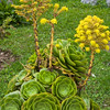 Hen and chicks, Sempervivum tectorum, ornamental plant at Termas de Papallacta Resort in Ecuador.