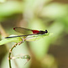 Damselfly, found in Ecuador at Mindo Butterfly Conservatory