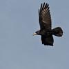 Rook Blackbird, Corvus frugilegus, at Kildee Ireland.