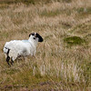Sheep on Achill Island in County Mayo, Ireland