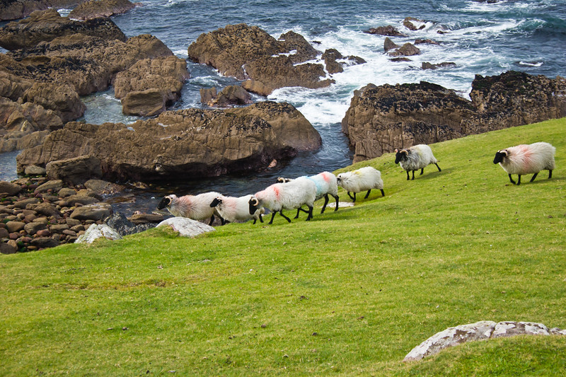 Sheep on cliffs on Achill Island, County Mayo, Ireland. Atlantic Ocean view.