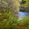 Ferns on Erriff River banks at Sheffrey Woods in Ireland