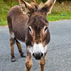 Donkey begging for handouts from photographers at Doo Lough in Ireland