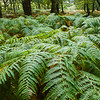 Ferns in Sheffery Woods in County Mayo, Ireland