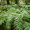 Ferns in Sheffery Woods in County Mayo, Ireland
