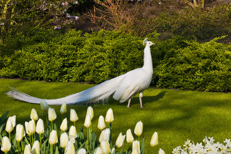White Peacock, a variation of the Indian Blue Peafowl,  at Keukenhof Gardens in South Holland in The Netherlands.