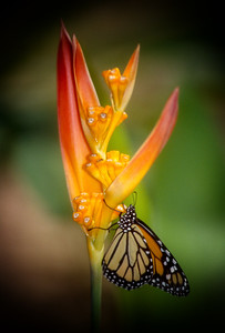 Monarch Butterfly, Aruba