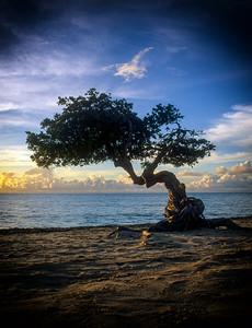 Divi Divi Tree