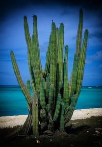 Seaside Cactus