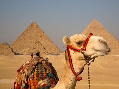 Camel, Giza Plateau