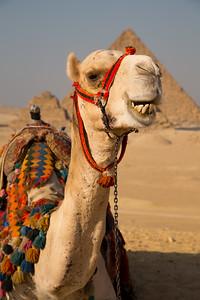 Smiling Camel, Giza Plateau