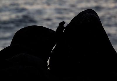 Marine Iguana at dusk