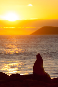 Sea lion at sunset