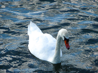 Swan at Drottningholm Palace