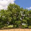 370 Jahre alte Eiche