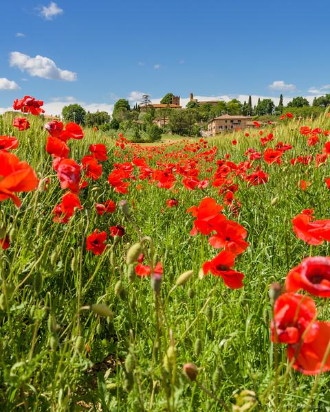 Mohnfeld bei Lucignano d'Arbia