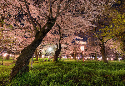 Cherry Blossoms at Night, Hirano Shrine, Kyoto, Japan - 2014