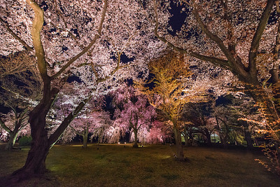 Cherry Blossoms at Night, Nijo Castle, Kyoto - 2014