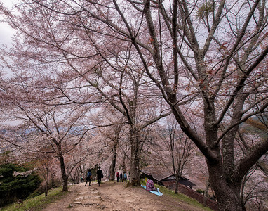 Cherry Blossoms at Yoshinoyama, Yoshino, Japan - 2014