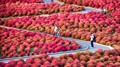 Red Kochia Bushes, Hitachi Seaside Park, Mito, Japan - 2014