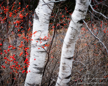 Birch and Winterberry, Acadia National Park, Maine
