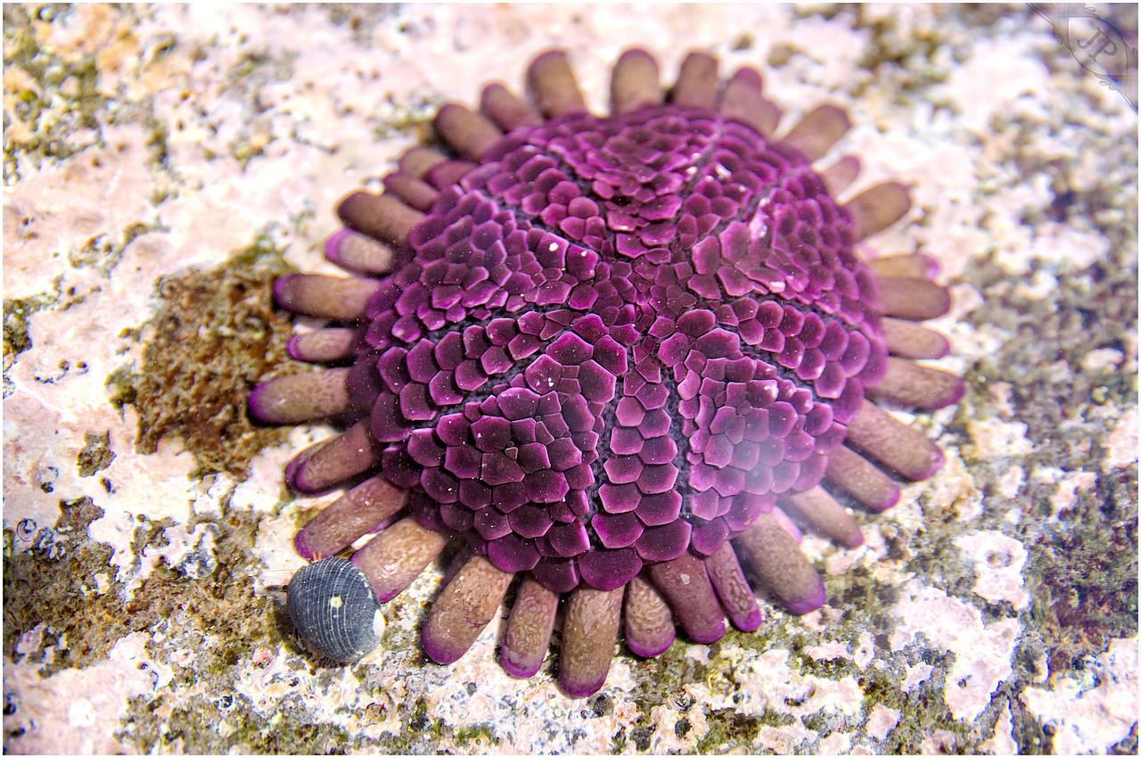 Shingle Helmet Urchins