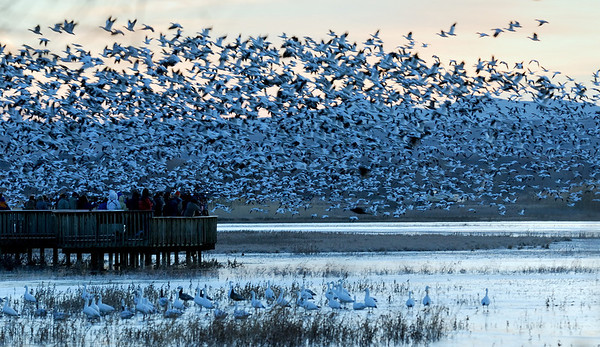 "Bosque Blastoff - On most mornings thousands of Snow Geese ""blastoff"" from the ponds and head to the corn fields for food."