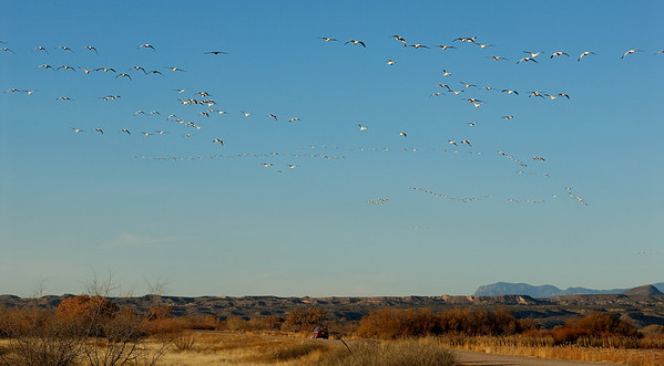 Snow Geese flying to the corn field. Bosque del Apache, New Mexico