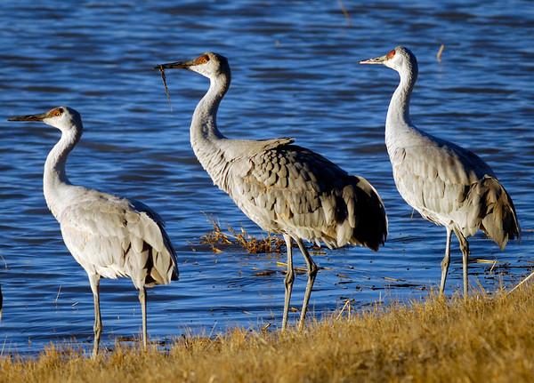 Sandhill Cranes - Bosque del Apache - New Mexico