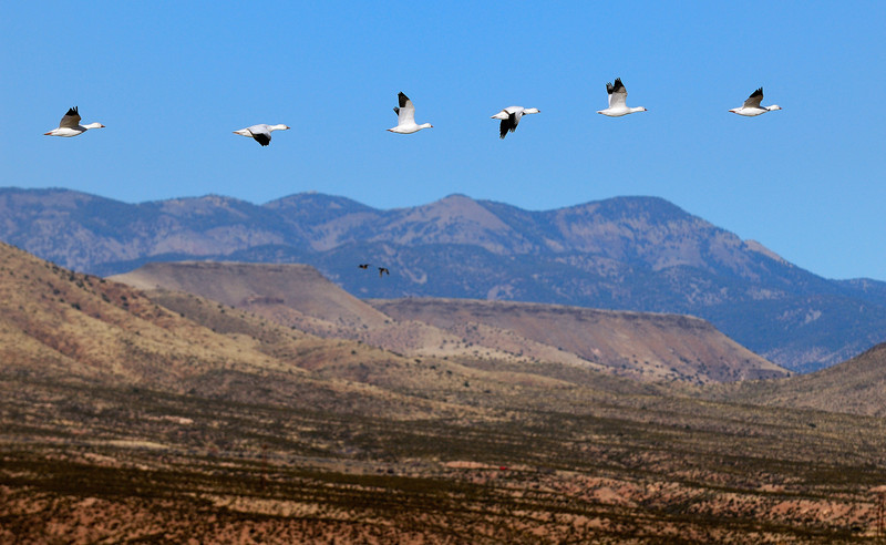 Snow Geese - Bosque Del Apache