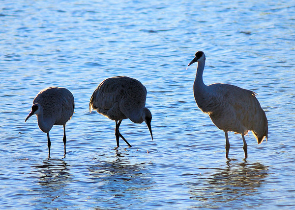 Bosque del Apache - New Mexico