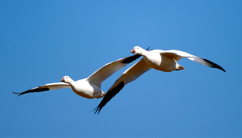 Snow Geese - Bosque del Apache - New Mexico