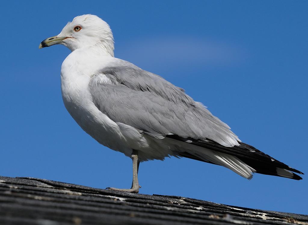 Ring-Billed Gull at Cayuga Lake in New York