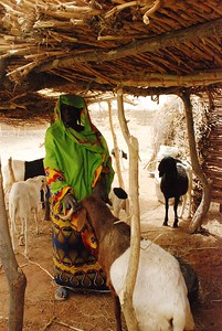 Tahoua village woman shows off her goats.   The program provides two young goats for each woman, to then fatten and resell for profit.