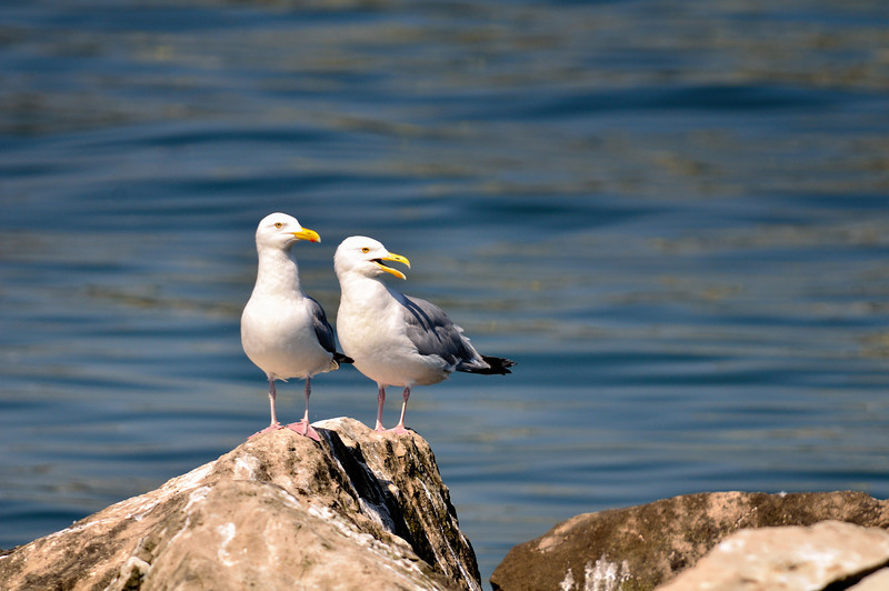 Gulls - Kelley's Island