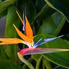Strelizie (Paradiesvogelblume)