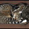 Cuddle Kitties - Zeus and Zane enjoying Prescott, Arizona