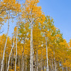 Autumn Color with Aspens turning - along Kebler Pass road west of Crested Butte, Colorado.  This area contains one of the largest Aspen forests in the world. The summit of Kebler Pass is 10007 feet and most of the road is dirt and is closed in winter.