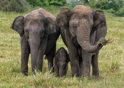 Elephants in Minneriya National Park, Sri Lanka - 2017