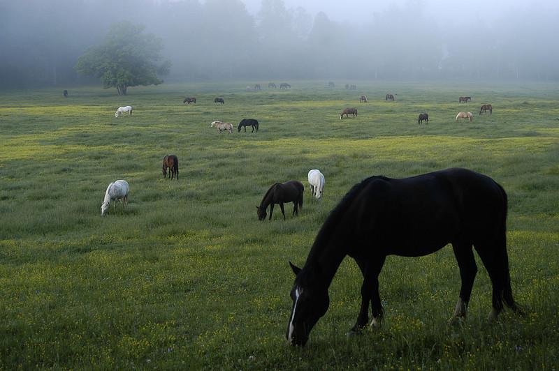 Cade Cove Horses - Great Smoky Mountains National Park