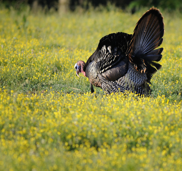 Wild Turkey - Cades Cove - Great Smoky Mountains National Park