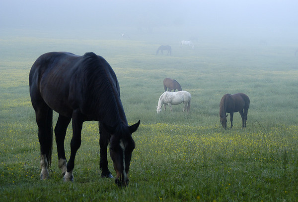 Grazing Horses - Cades Cove - Great Smoky Mountains National Park