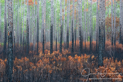 Forest Burn in the Aplachiacola National Forest, Florida