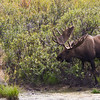 Moose in Denali National Park and Wilderness Preserve in Alaska.
