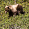 Grizzly Bear cubs in Denali National Park in Alaska.