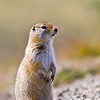 Arctic Ground Squirrel in Denali National Park and Wilderness Preserve in Alaska. Arctic ground squirrels spend their lives in a constant, hectic struggle to survive, as they are prey for many animals and birds in the wilderness.