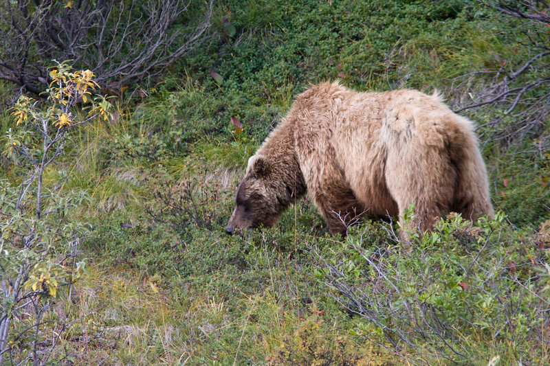 Grizzly Bear Sow foraging for berries while cubs rest nearby. She is in Denali National Park and Wilderness Preserve in Alaska.
