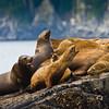 Stellar Sea Lions (Eumetopias jubatus) in Kenai Fjords National Park in Alaska.