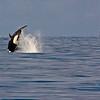 Killer Whale/Orca (Orcinus orca) in Kenai Fjords National Park in Alaska.